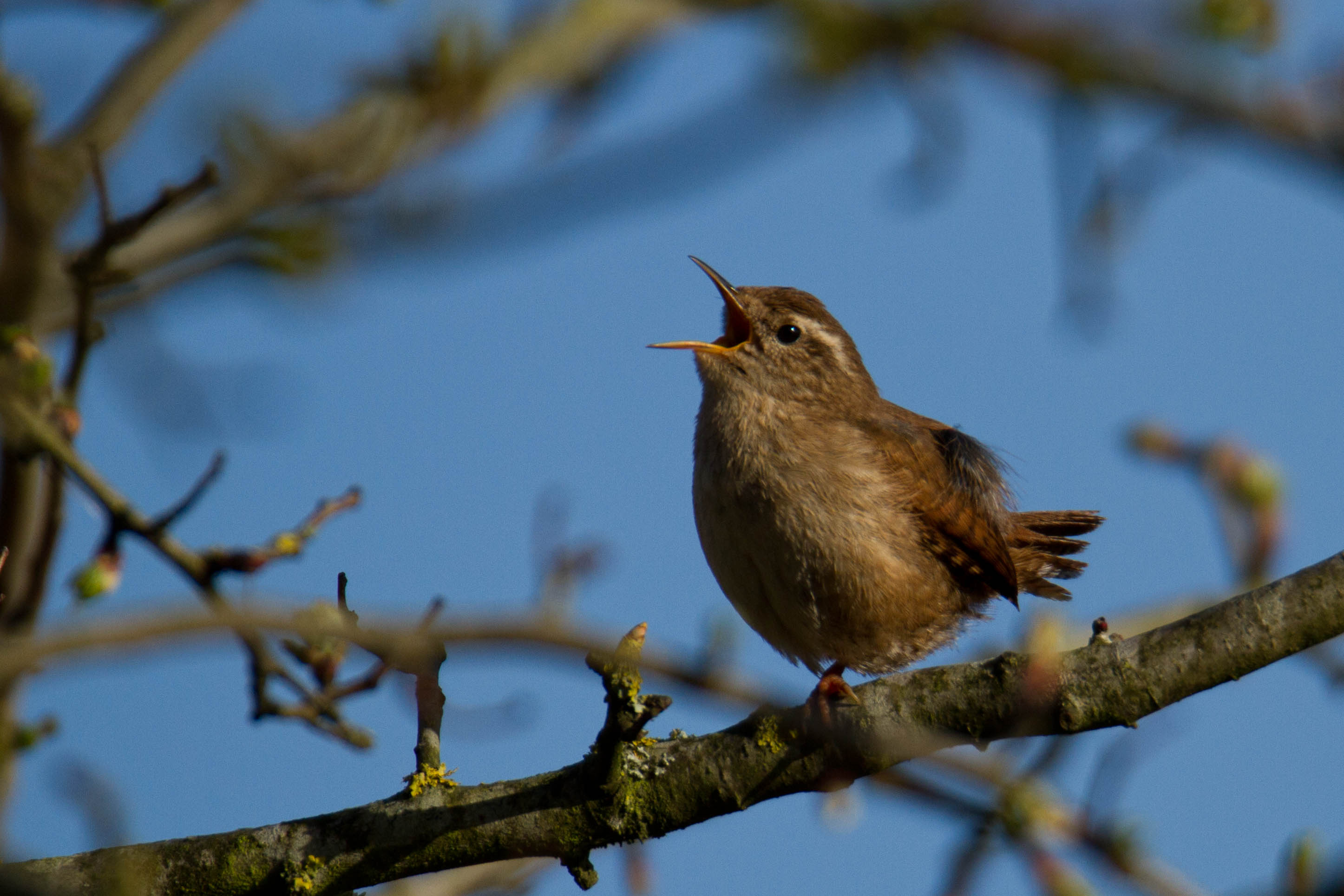 singing wren 2-1029LesPrice_36